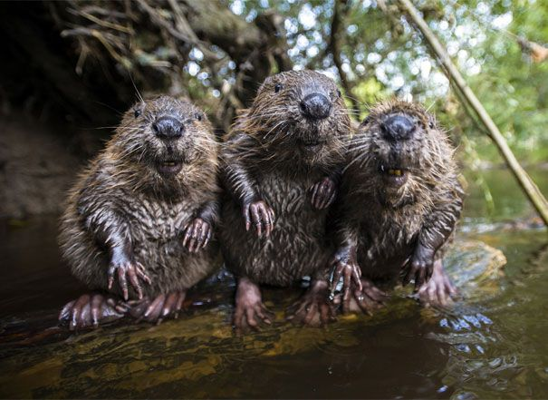 Three Beavers Chilling By The Water