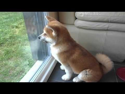 AKITA INU Mon chien de garde.AVI - YouTube