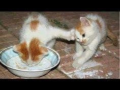 Lustige Katzen Videos zum totlachen (versuche nicht zu lachen) - YouTube