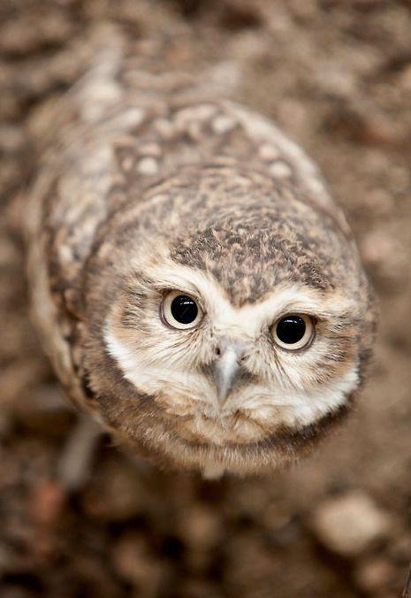Owl Eyesight