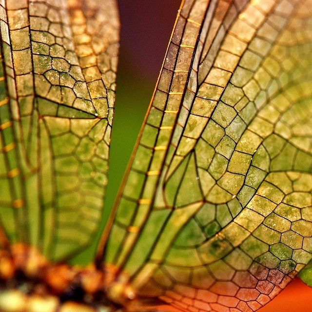 hedgey- South Wales: Dragonfly Insects, Close Texture, Dragonfly Wings, Gossamer Wings, Patterns Wings, Butterflies Wings, Beautiful Body, Macros Photography, Natural