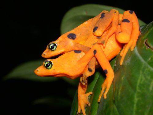 Panama Golden Frogs