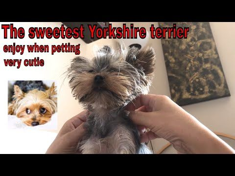 Take a look at my video, folks👇 the sweetest yorkshire terrier enjoy when petting very cutie https://youtube.com/watch?v=3cQdPPiFVOU