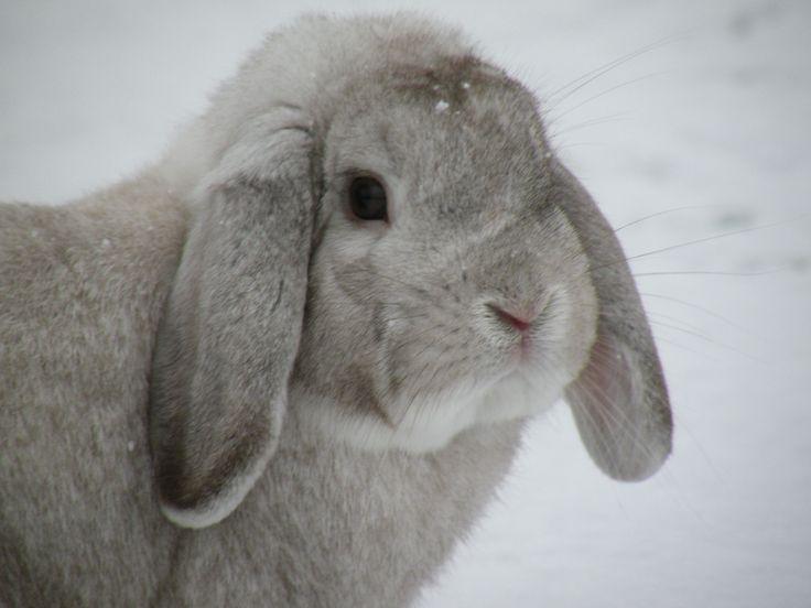 Mini Lop Rabbit Breed