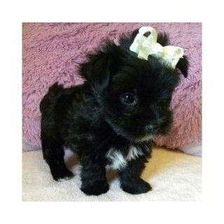 Cheap Puppies On Teacup Maltese Puppies Toy Puppies For Sale Micro