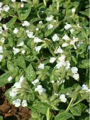 Pulmonaria saccharata 'Sissinghurst White'