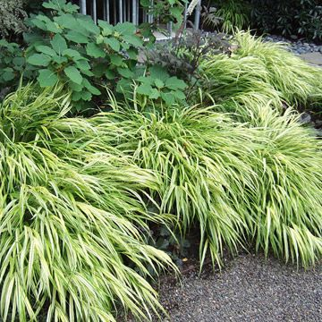.Hakonechloa macra 'Aureola'Finally, an ornamental grass that thrives in the shade! The lime-and-white variegated foliage of the Japanese forest grass cascades beautifully at the edge of a flower bed in the darkest corners of your garden. An added bonus -- the foliage turns shades of pink in the fall. Zones 5-9.