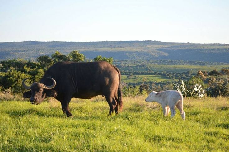 Newest addition to the @SibuyaGameRes is delighted to welcome a new very rare White Buffalo Calf on the 17 July 2015