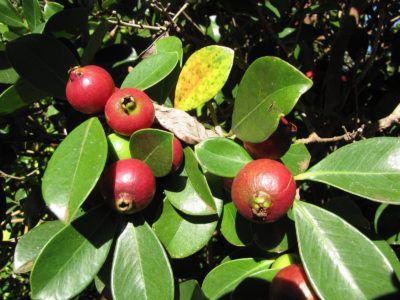 Strawberry Guava Plants: How To Grow A Strawberry Guava Tree Strawberry guava is a large shrub or small tree that is native to South America and loves a warm climate. There are some good reasons to choose strawberry guava plants over the common guava. Learn more about strawberry guava care in this article.