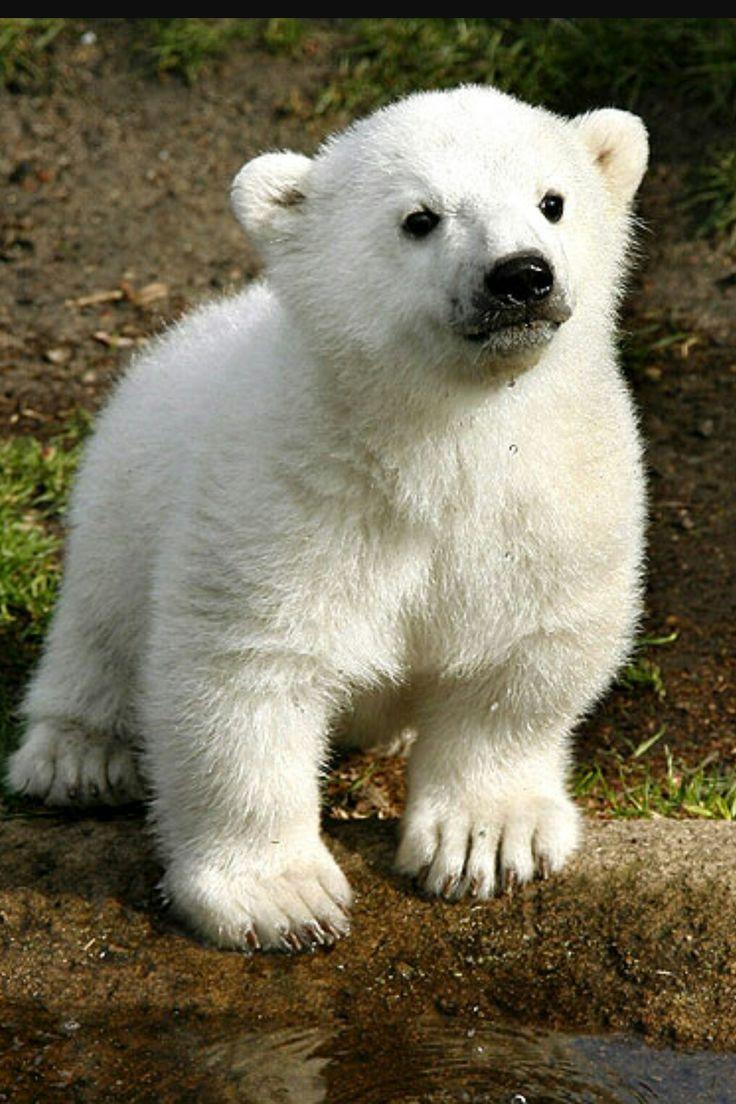 617 Best Bears Polar Koala Amp Pandas Images On