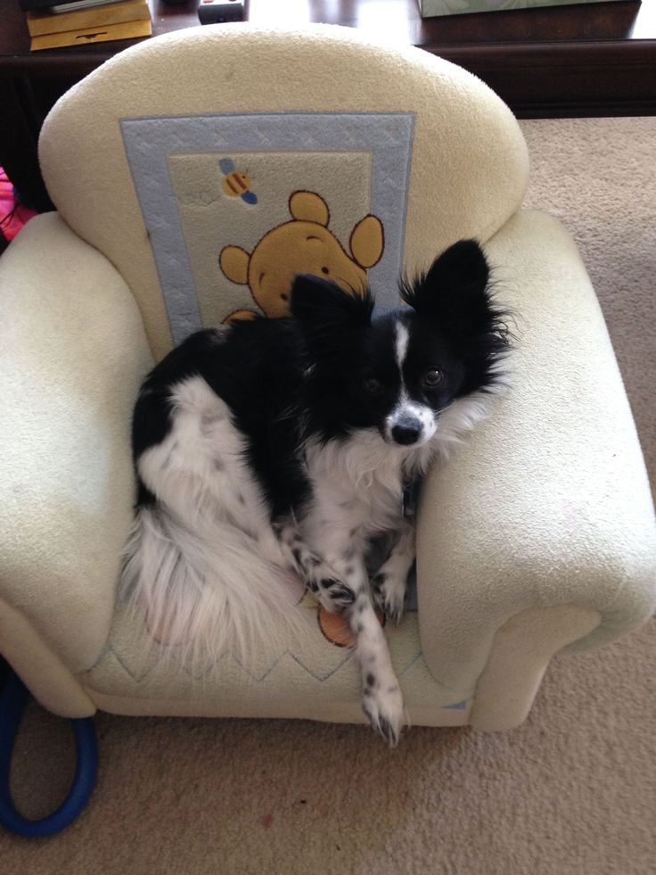 79 best papillion images on pinterest butterflies papillon dog find this pin and more on papillion by sandy beckwith solutioingenieria Image collections