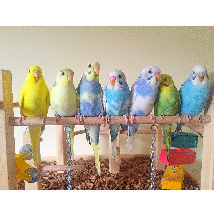 "1,763 Likes, 48 Comments - K E V I N L Λ M (@kevinsbirds) on Instagram: ""Some of the babies want to say hi to the Instagram world! #birds #budgies #cockatiels #parakeets…"""