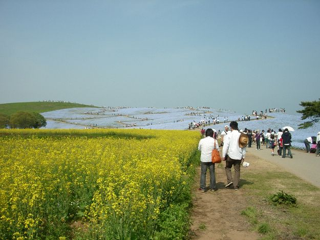 Hitachi Seaside Park, near the Ajigaura Beach in Japan
