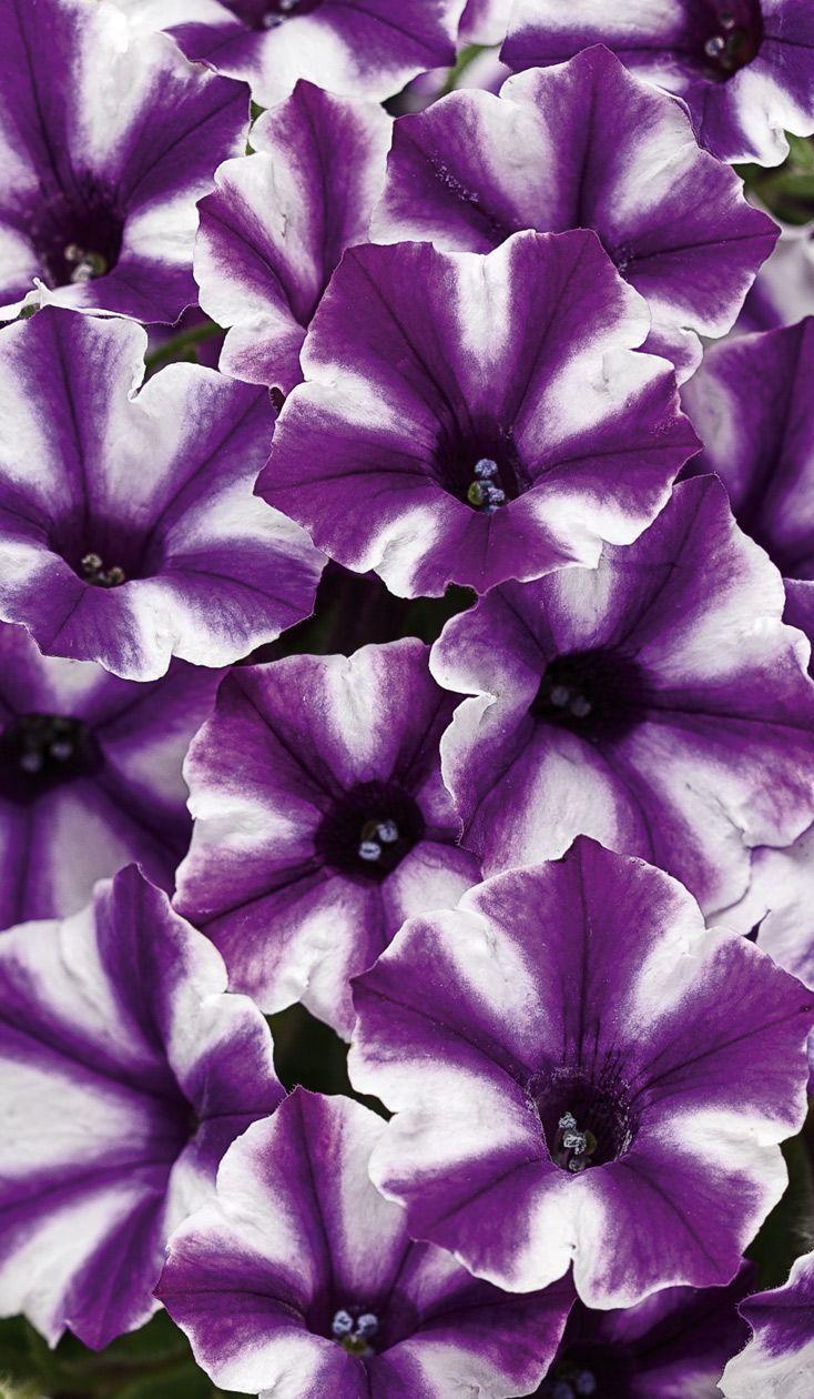 Mini Purple White Petunias Petunias Beautiful Flowers Purple Flowers