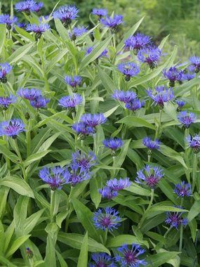 Blue PERENNIAL BACHELOR BUTTON. Also known as Mountain Bluet: smells like peaches if you get close to it! Blooms a long time.