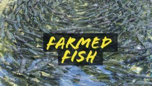 Is farmed fish like Atlantic salmon or tilapia healthy for you ?    Check out my blog article to find out more. http://www.ryanclarkfitness.com/farmed-fish/