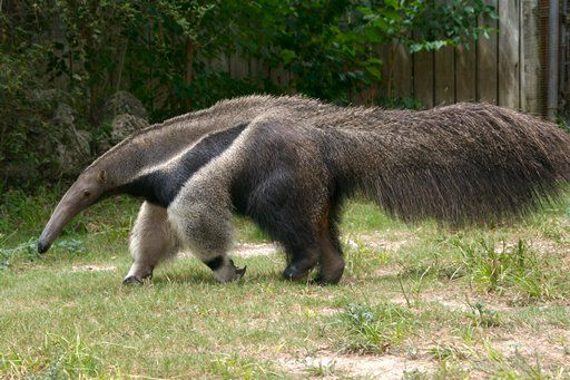 The giant anteater has an enormous protruding jaw that looks like a nose, no teeth, poor eyesight, and two-foot-long tongue.
