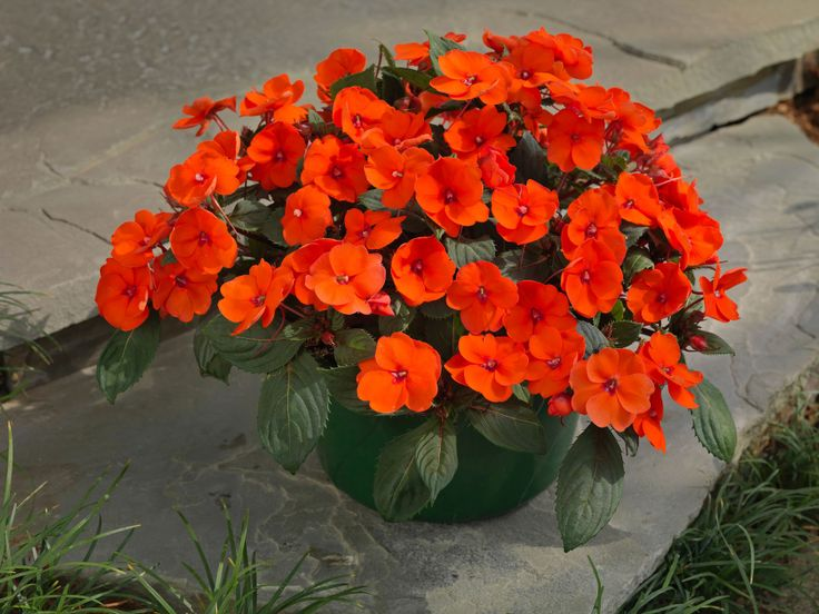10 fabulous flowers for red pink and purple garden designs impatiens sunpatiens compact hot coral