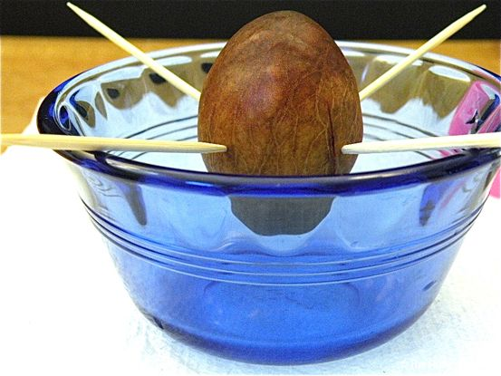 Grow a tree from an avocado pit: Fun Recipes, Growing Avacado, Avocado Pit, Avocado Plant, Grow Avocado Tree, Growing Avocados, Kids, Avocado Trees