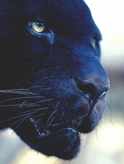 его картинка глаза пантеры с голубыми глазами хозяйки отказываются традиционных