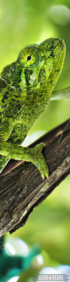 A chameleon in Maui. Wouldn't you like to see two ways at once? Think of how much more one can see!
