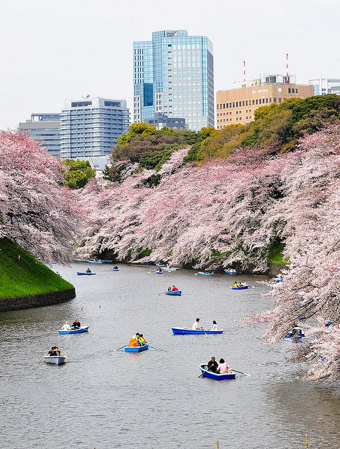 Rowboats on the moat of the Imperial Palace in Tokyo with cherry blossoms -