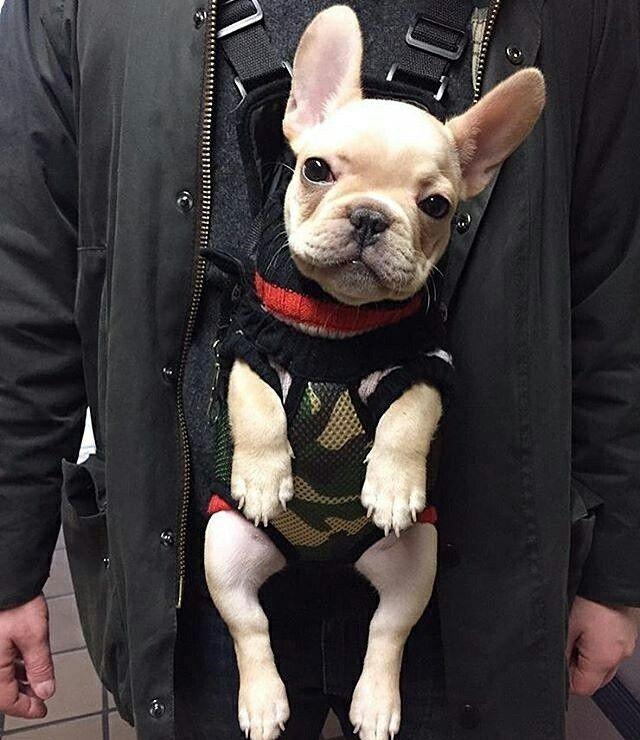 Life is good, French Bulldog Puppy