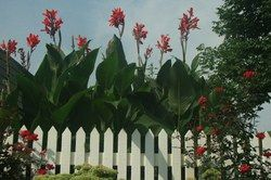Canna Lilies care and winterization