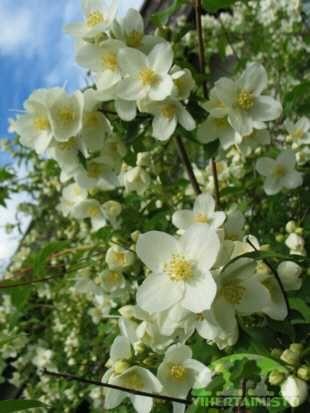 Philadelphus coronarius PIHAJASMIKE  Valkokukkaisten jasmikkeiden tuoksu kantautuu kauas keskikesällä. Korkeahkot jasmikkeet soveltuvat suojapensaiksi ja aidanteiksi. Tuuhealehtinen pihajasmike on yksi aikaisimmin kukkivista jasmikkeista, sillä kukinta alkaa usein jo kesäkuun viimeisellä viikolla. Lehdistö: Pensaat tuleentuvat ja saavat keltaisen ruskavärin myöhään syksyllä. Kukinta: Voimakkaasti tuoksuvat valkoiset kukat avautuvat yleensä kesä–heinäkuun vaihteessa. Kasvupaikka: Kukkia…