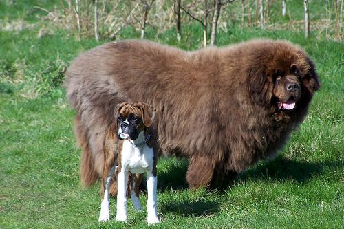 These 15 Insanely Enormous Dogs Remind Us That Beauty Can Come With Lots Of Slobber