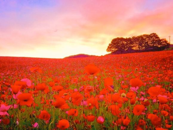 15 million flowers in bloom right now at Saitama's field of Heavenly Poppies ‹ Japan Today: Japan News and Discussion