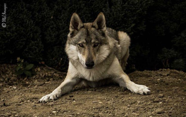 Un de mes chiens-loup