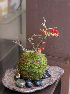 Moss ball of longevity plum-MOSS BALL KURAMA MOSS