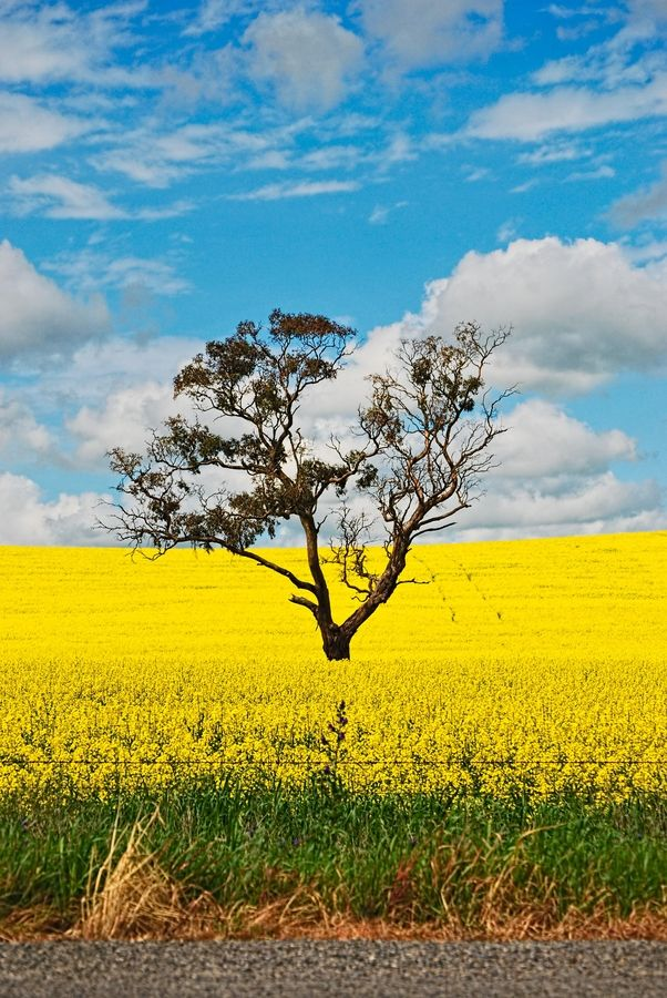 Canola paddocks in South Australia.