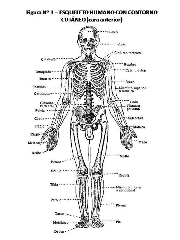 El Esqueleto Humano Y Sus Partes Buscar Con Google