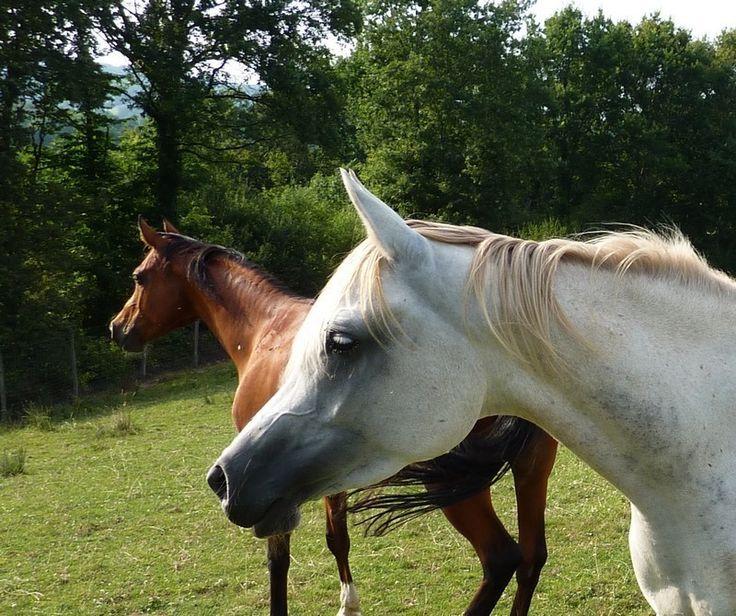 les 25 meilleures id es concernant chevaux arabes sur pinterest beaux chevaux arabian chevaux. Black Bedroom Furniture Sets. Home Design Ideas