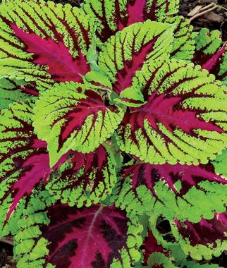 """Coleus - Vartiety Picture Perfect Rose. An annual that prefers full shade or partial. Height: 36"""" Spread: 36-48"""""""