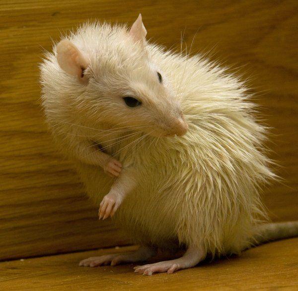 В США крысы несколько часов поедали младенца http://actualnews.org/obshestvo/proishestviya/172023-v-ssha-krysy-neskolko-chasov-poedali-mladenca.html  В США, штате Арканзас, новорожденная девочка подверглась атаке крыс. Оставленный без присмотра ребенок, которому исполнилось всего 15 дней, получил множество укусов.
