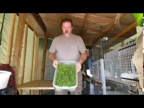 Raising Meat Rabbits - Growing your own fodder for your rabbits!