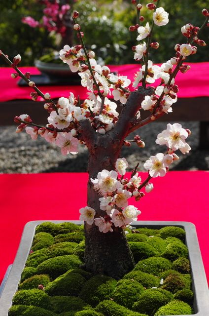 Cherry Blossom Bonsai Tree...represents peace & tranquility, truth & honor, happiness & goodness.