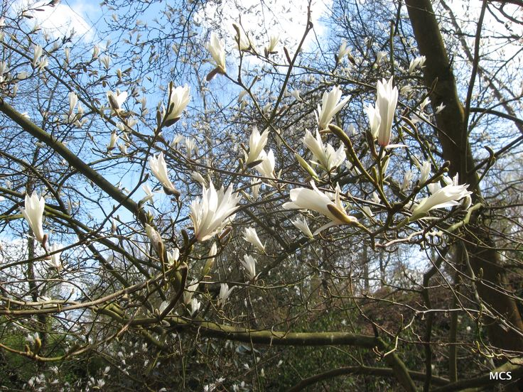 Magnolia salicifolia - willow-leaved magnolia.  1st April 2009