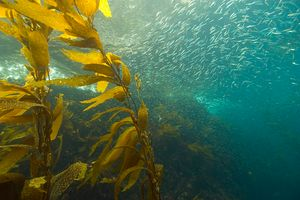 A heat wave in 2011 killed 43 percent of kelp along Australia's Southern Great Reef, which stretches more than 1,400 miles.