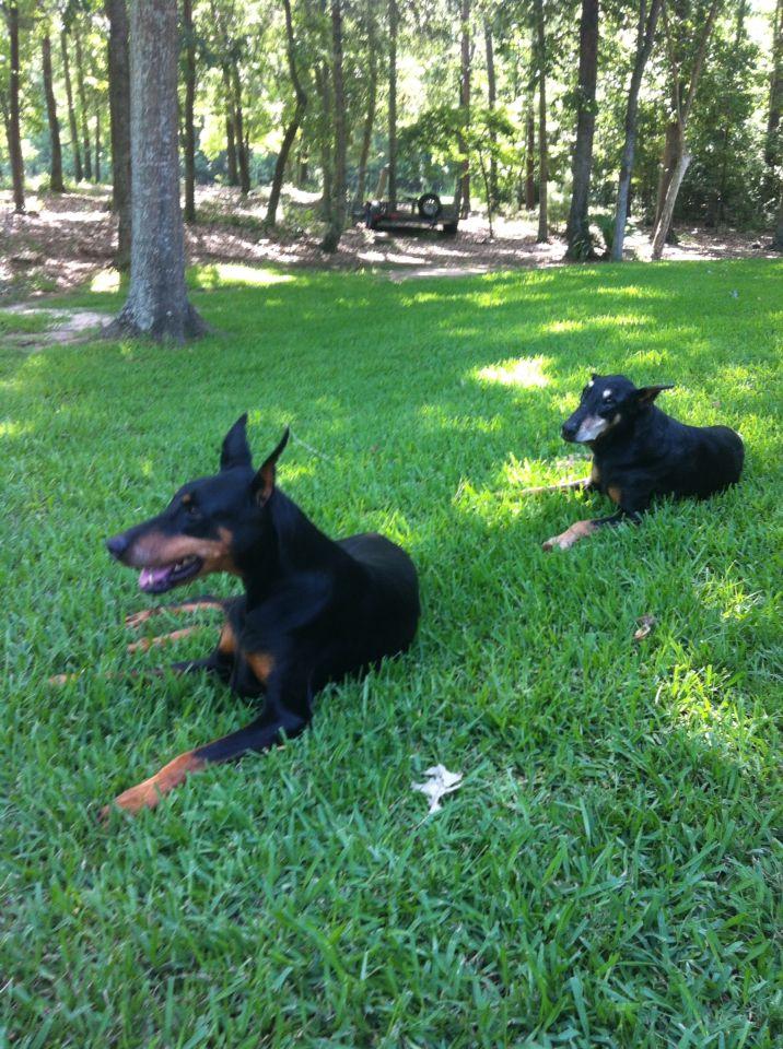 My sweet girls! Dolly & Daisy dobermans Doberman, Sweet
