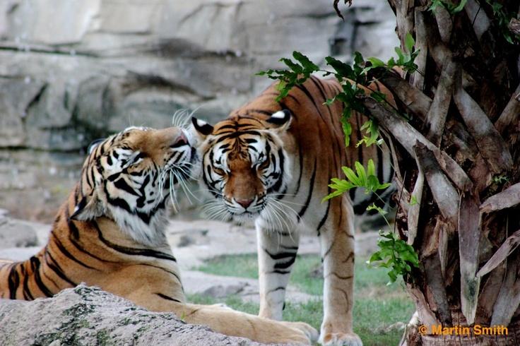 Tiger love at Busch Gardens Tampa Bay®