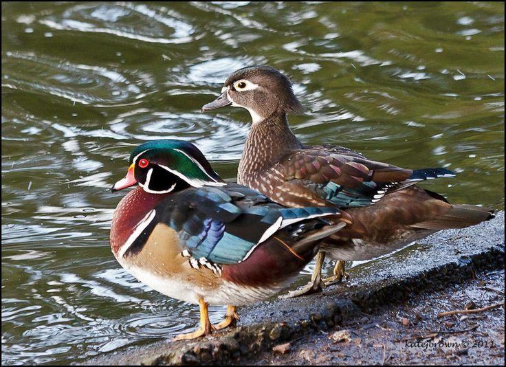 woodducks | Wood Duck Couple
