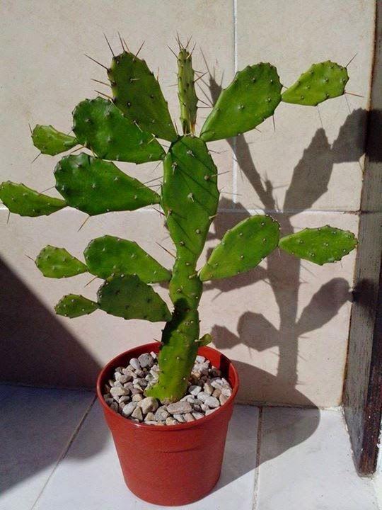 Ese Blog de Cactus: Opuntia Brasiliensis, Nopalito                                                                                                                                                                                 Más