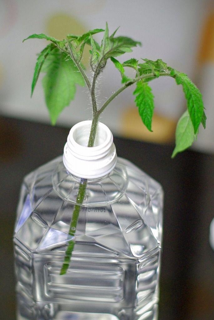 ミニトマトの育て方 いらないわき芽を苗にする 挿し木 2020