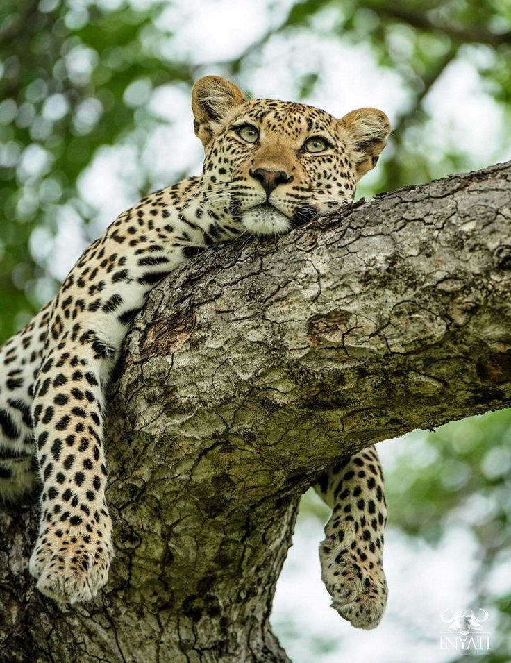 #safaridreaming #inyatisafari  We look forward to hosting you at Inyati Game Lodge and sharing an experience which typifies the African safari, without compromising on accommodation and incredible