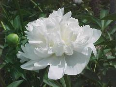 Paeonia lactiflora 'Duchesse de Nemours' - Plant Finder
