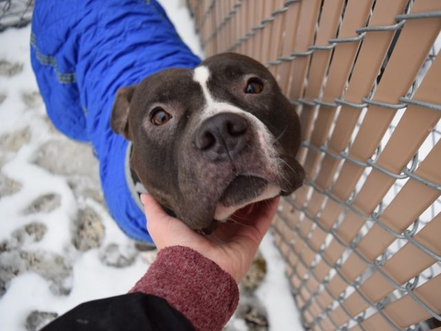 OREO COOKIE - A1099575 - - Brooklyn  Please Share:TO BE DESTROYED 01/04/17  A volunteer writes: Block head alert!! Short and stocky bully alert!!! I'm sending out alert signals to all those people that stop me on the street to ask me about my own little beefcake pitty and want to know where I got him. He's from the ACC of course! So now's your chance. Come on down and scoop up this sweet little Oreo Cookie who's head is too big for his body. His cute